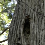 Woodpecker holes - spotted on old Spruce during birding hike