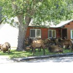 Elk huddle around cabin #19