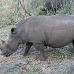 Lucky to see this white rhino in full view at Hluhluwe Game Park