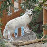 White Wolf, above the falls by the breakfast room & fish pond