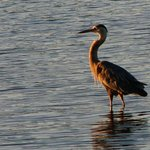 Great Blue Heron at Sunset