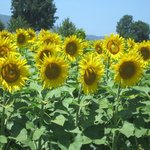 Late June sunflowers in bloom in Chianti.