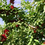 Cherries among the Apple Orchards