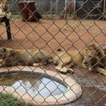 Lion and Lioness At Animal Orphanage, Nairobi