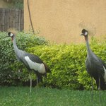 Crested cranes in the hotel gardens