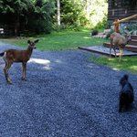 Deer with fawn and Ms. Shadow