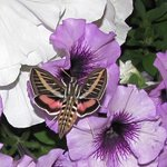 Hummingbird Moth Outside Room