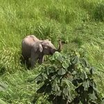 Young male elephant, wild and free at Khao Yai