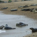 seals on beach near Horsey