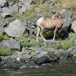 Wildlife in Hells Canyon