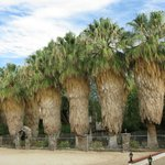 Washingtonia Palms out front