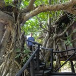 The Banyan Tree - steps going up