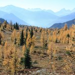 Golden larches in Sunshine Meadows
