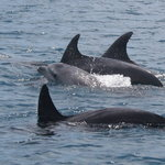 Jonian Dolphin Conservation