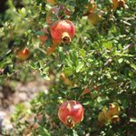 Pomegranates in the garden