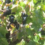Grapes in Vineyard.  Can see from back patio.