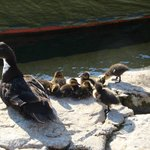 Ducks family