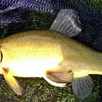 3lb Tench from YCP