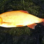 4lb Red Orfe from YCP