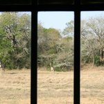 3 Giraffes through the window