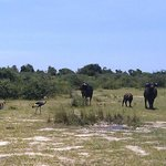 Gamedrive crested cranes and buffalo
