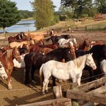 Horses waiting to go pasture