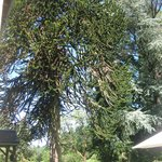 Biggest Monkey puzzle tree in the Limousin