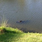 gator at the resort everyday