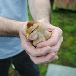 Gask House Baby Chick