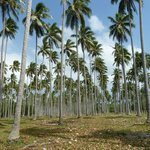 Coconut plantation at Ratua Island