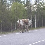 On Kiruna Road-You MUST wait/stop for reindeer-no honking