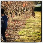 Windfall apple picking at Borrodell orchard, with a kangaroo nearby