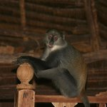 Monkey in our villa!