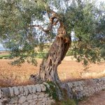 An olive tree on the road behind the hotel
