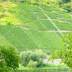 View across the Mosel to grape vine covered hillside