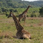 giraffe in arusha national park