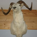 Dall sheep head above front door in Redoubt Cabin