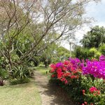 part of the garden with Bougainvilleas