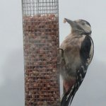 Woodpecker -View from sitting room