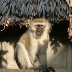 Vervet Monkey outside Hut /Room