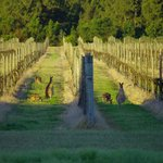 Vineyards with kangaroos