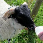 Feeding Jack the sheep at Taobh Coille