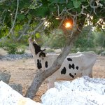Cows eating fig leafs