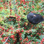 Blackbird eating the berries off a cotoneaster