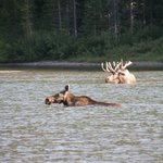 Moose at Fishercap Lake 1/4 mile from cabins