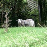 One of the 'lawn mowers' at Bryn Gwynant