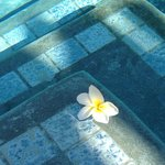 Plumeria blossom floating in the pool