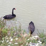 the black swans on the lake