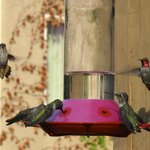 Hummingbirds on the deck