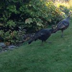 Wild turkeys in the garden